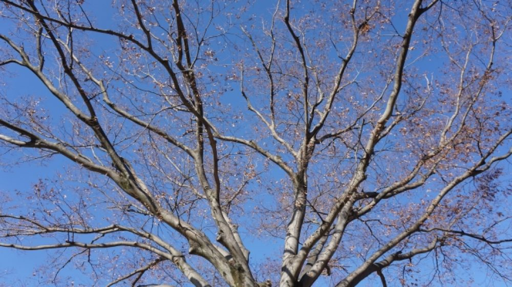 桜並木が一斉に枯れる 原因不明、観光地に大打撃