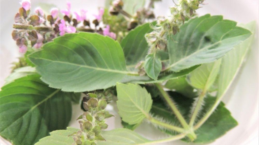 タイで新種の植物8種発見 ガパオやラン、東北部などで