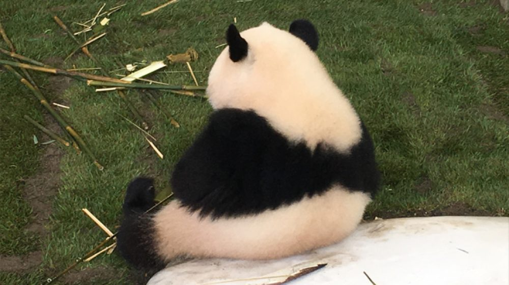 中国のパンダがチェンマイ動物園で突然死、SNS上では批判の声も